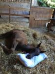 Fohlen schläft